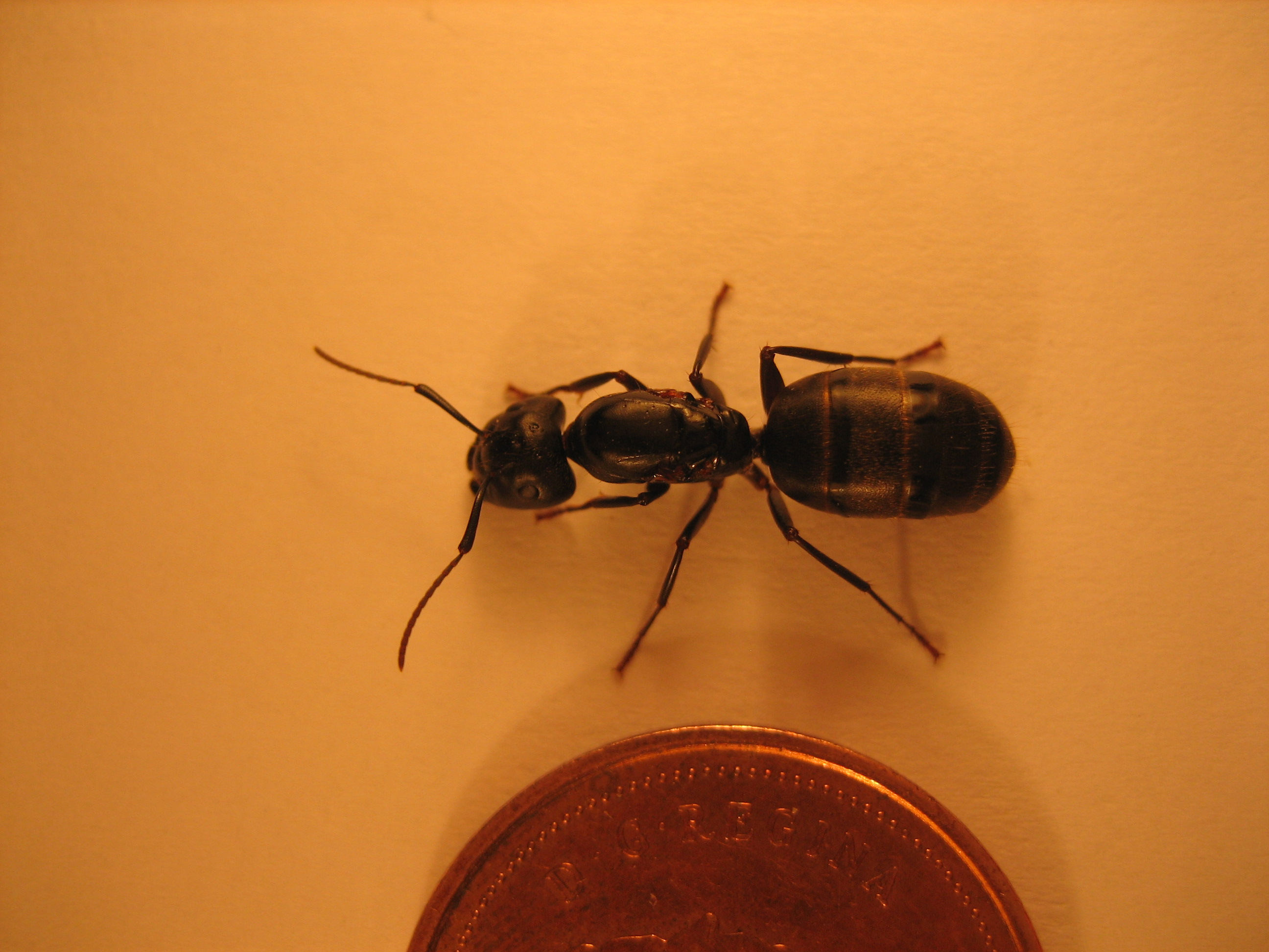 Little black ants queen